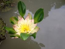 Lotus. Nymphae   spp.   (Hybrid Stock Photo