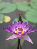Lotus; Nymphaea rubra; wodna boginka Zdjęcia Stock