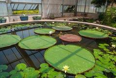 Lotus Nymphaeaceae Lotus Nymphaea Βικτώριας στο κτήριο γυαλιού στοκ εικόνες