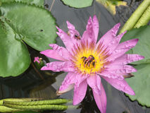 Lotus o lirio de agua púrpura Fotografía de archivo libre de regalías