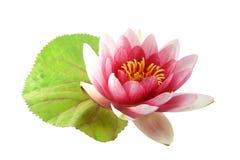 Lotus o ninfea isolata Fotografia Stock Libera da Diritti