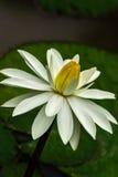 Lotus o Nymphaea del lirio de agua fotografía de archivo