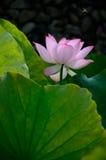 Lotus och bin Arkivbild