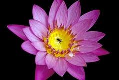 Lotus och ett bi arkivbild
