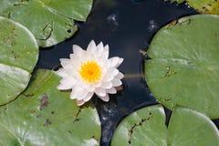 Lotus och näckros Royaltyfria Foton