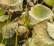 Lotus och vissna lotusblommaväxter royaltyfria foton