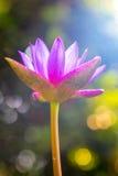 Lotus-ochtend Royalty-vrije Stock Afbeeldingen