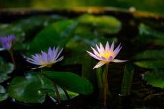 Lotus oder Wasser lilly stockfotos