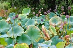 Lotus ogródu staw Fotografia Royalty Free