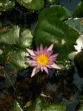 Lotus in old pool. Pick Lotus in old pool royalty free stock images