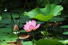 Lotus onder blad royalty-vrije stock foto's