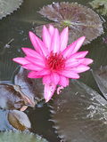 Lotus. One Pink flower Stock Photography