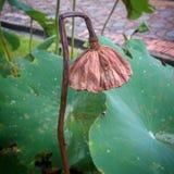Lotus op de tuin Stock Afbeeldingen