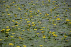 Lotus op Ka van Rivierjegriä  Royalty-vrije Stock Afbeelding
