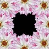 Lotus op zwarte achtergrond Stock Afbeeldingen