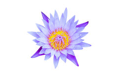 Lotus open flower isolate. On white background Royalty Free Stock Photography