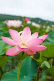 Lotus Oriental, kwam lotuses tot bloei stock afbeeldingen
