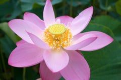 Lotus orientale si aprirà Fotografia Stock Libera da Diritti