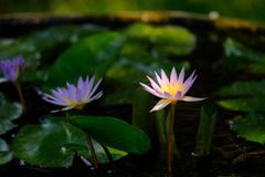 Lotus ou água lilly fotos de stock