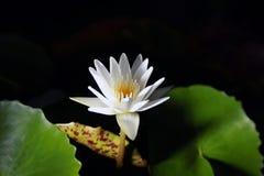 Lotus ou fond noir de nénuphar de Thaïlande Photos stock