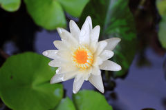 Lotus ou lírio de água de Banguecoque Imagens de Stock