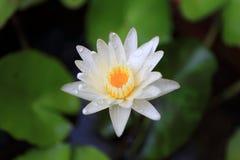Lotus ou lírio de água de Banguecoque Tailândia Imagem de Stock Royalty Free