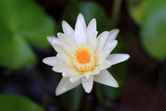 Lotus ou lírio de água de Banguecoque Tailândia fotografia de stock royalty free