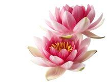 Lotus ou lírio de água isolado Imagens de Stock Royalty Free