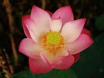 Lotus ou le nénuphar, la belle eau fleurit photos libres de droits