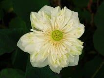 Lotus ou le nénuphar, la belle eau fleurit photographie stock libre de droits