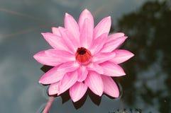 Lotus ou nénuphar ; baisse de l'eau sur la feuille de lotus Photo libre de droits