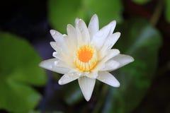 Lotus ou nénuphar de Thaïlande Photo stock