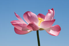 Lotus over blue sky Royalty Free Stock Photo