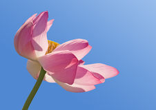 Lotus over blue sky Royalty Free Stock Photos