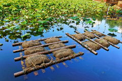 Lotus på det Shinobazu dammet Arkivbilder