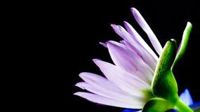 Lotus på mörk bakgrund Fotografering för Bildbyråer