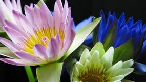 Lotus på mörk bakgrund Arkivfoto