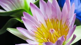Lotus på mörk bakgrund Arkivfoton