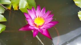 Lotus på vatten Arkivbild