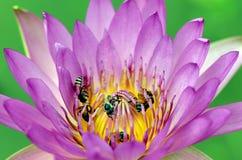 Lotus púrpura. Fotos de archivo libres de regalías