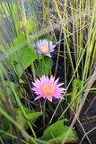 Lotus púrpura en humedal Fotografía de archivo libre de regalías