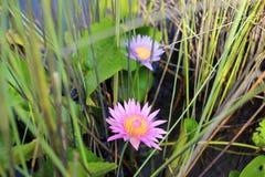 Lotus púrpura en humedal Fotografía de archivo