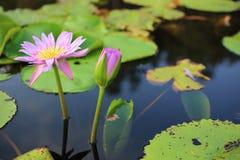 Lotus púrpura en humedal Imagen de archivo