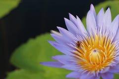Lotus púrpura en humedal Imágenes de archivo libres de regalías