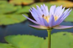 Lotus púrpura en humedal Fotos de archivo libres de regalías