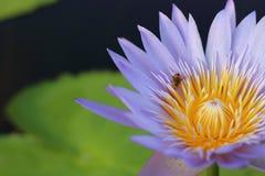 Lotus púrpura en humedal Imagen de archivo libre de regalías