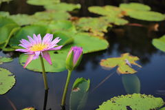 Lotus púrpura en humedal Foto de archivo libre de regalías