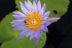 Lotus púrpura en humedal Fotos de archivo