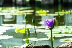 Lotus púrpura en una charca foto de archivo