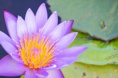 Lotus púrpura, para el papel pintado completo el fondo del diseño web fotos de archivo